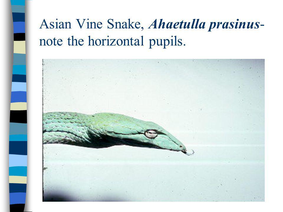Asian Vine Snake, Ahaetulla prasinus- note the horizontal pupils.