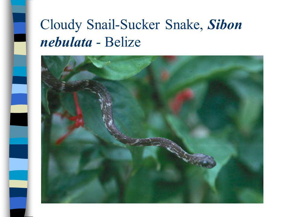 Cloudy Snail-Sucker Snake, Sibon nebulata - Belize