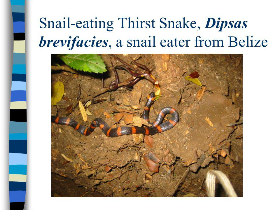 Snail-eating Thirst Snake, Dipsas brevifacies, a snail eater from Belize