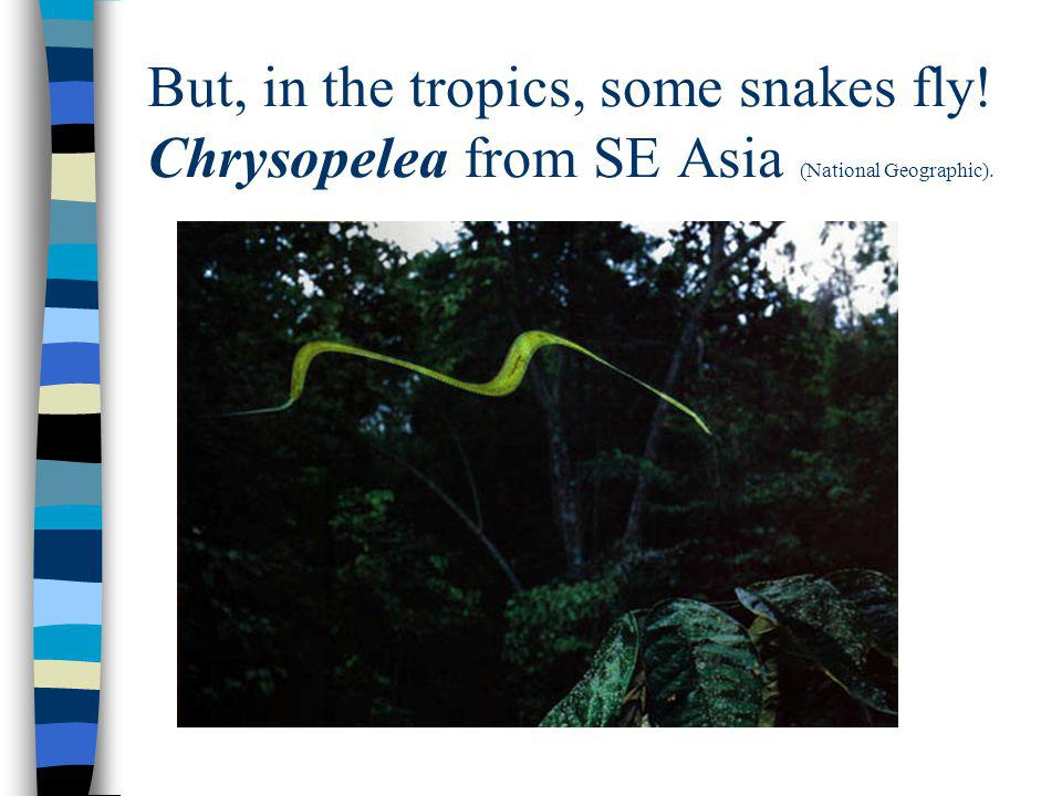 But, in the tropics, some snakes fly