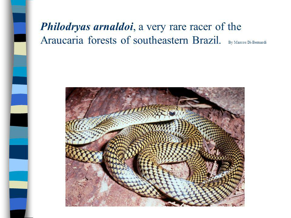 Philodryas arnaldoi, a very rare racer of the Araucaria forests of southeastern Brazil.
