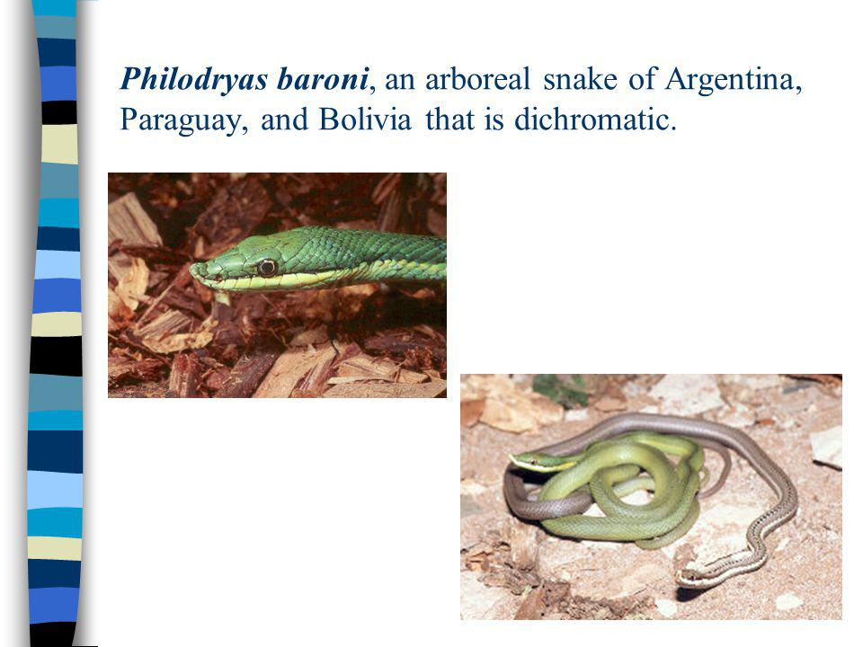 Philodryas baroni, an arboreal snake of Argentina, Paraguay, and Bolivia that is dichromatic.