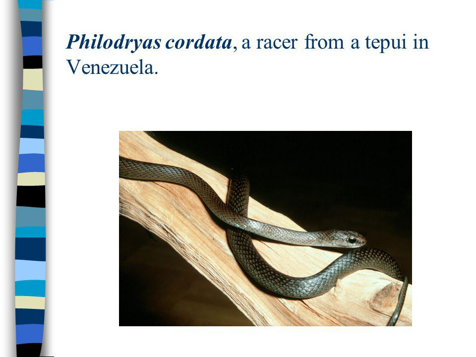 Philodryas cordata, a racer from a tepui in Venezuela.