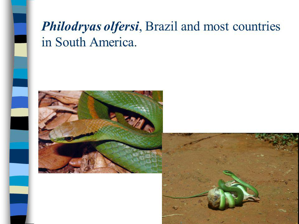 Philodryas olfersi, Brazil and most countries in South America.