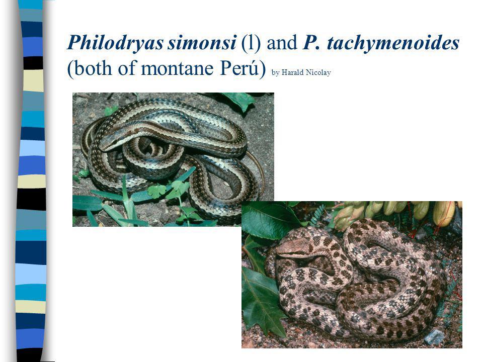 Philodryas simonsi (l) and P