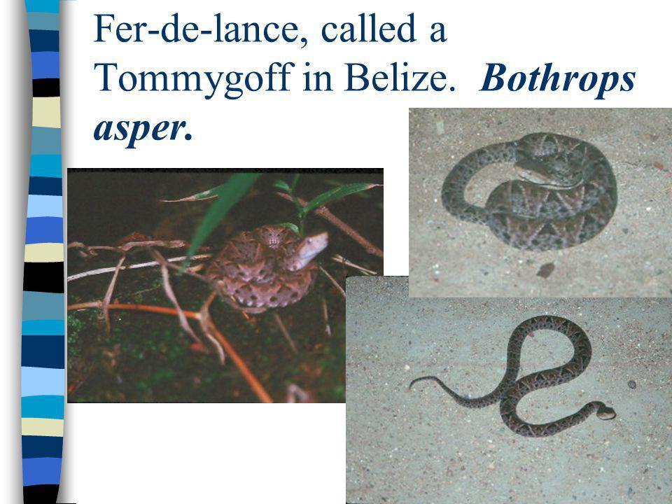Fer-de-lance, called a Tommygoff in Belize. Bothrops asper.