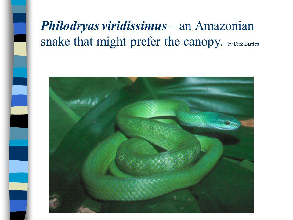 Philodryas viridissimus – an Amazonian snake that might prefer the canopy. by Dick Bartlett