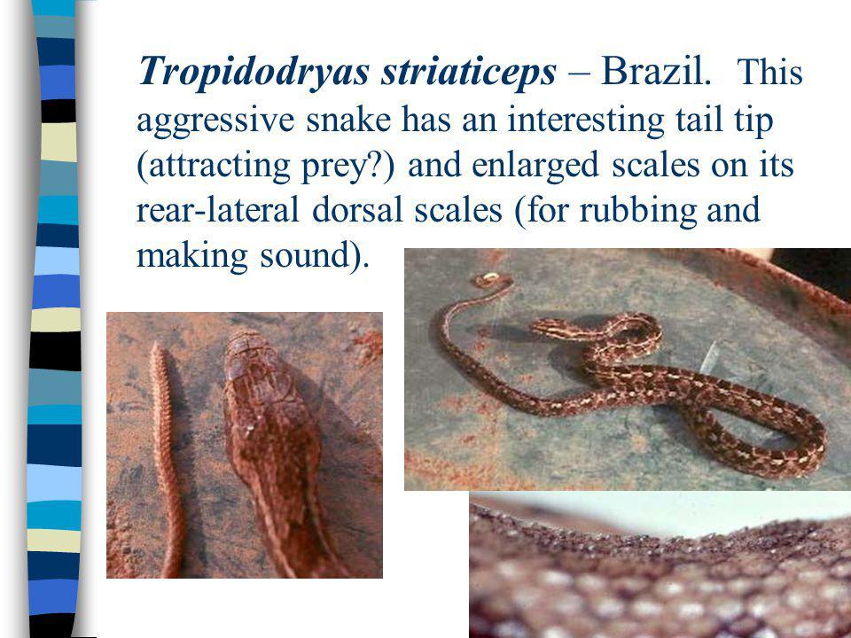 Tropidodryas striaticeps – Brazil