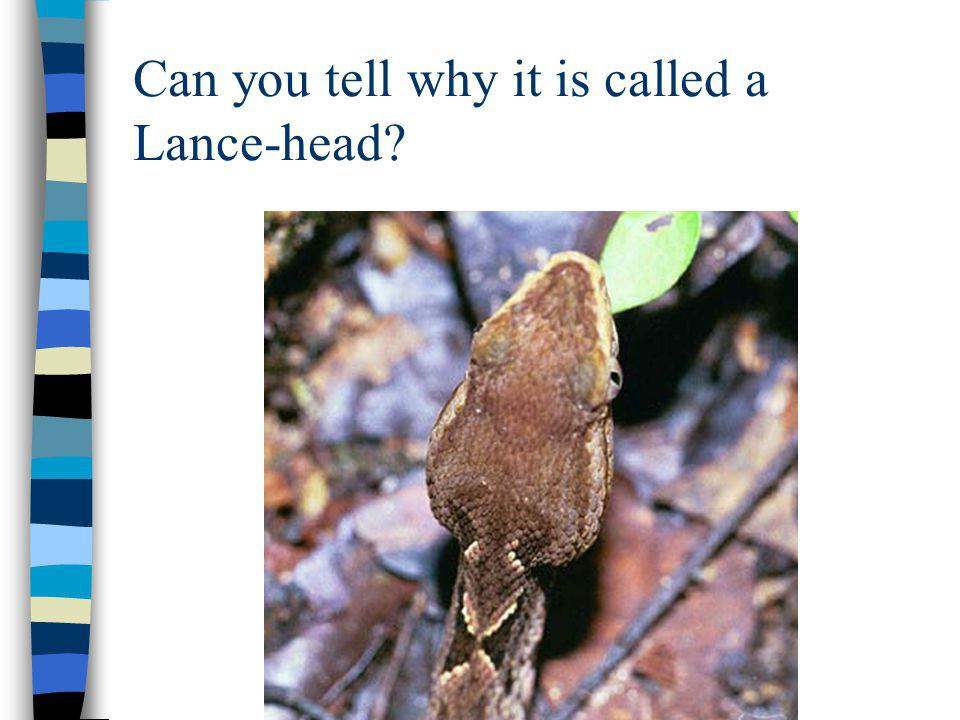 Can you tell why it is called a Lance-head
