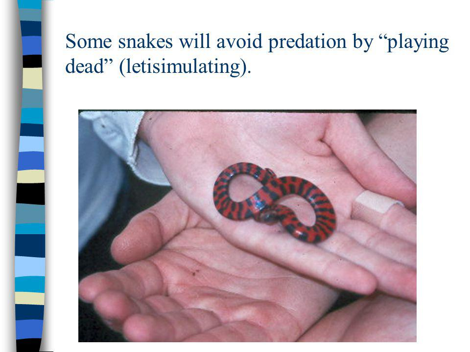 Some snakes will avoid predation by playing dead (letisimulating).