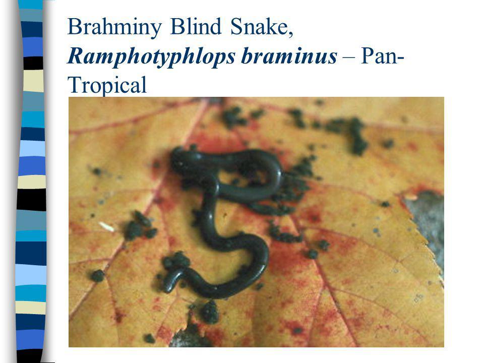 Brahminy Blind Snake, Ramphotyphlops braminus – Pan-Tropical