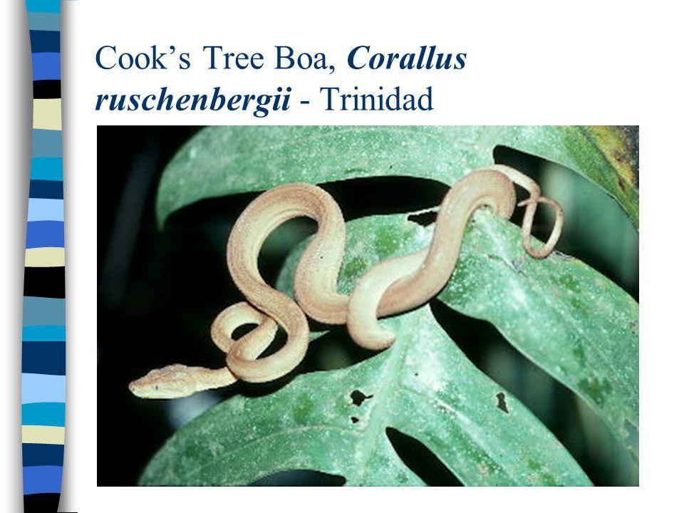 Cook's Tree Boa, Corallus ruschenbergii - Trinidad