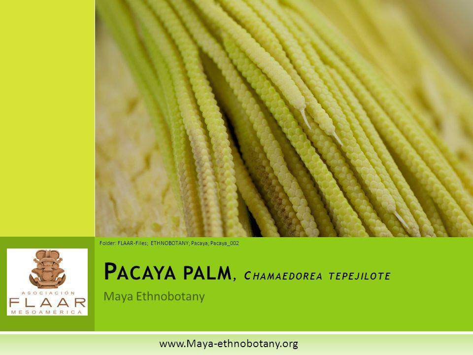 Pacaya palm, Chamaedorea tepejilote