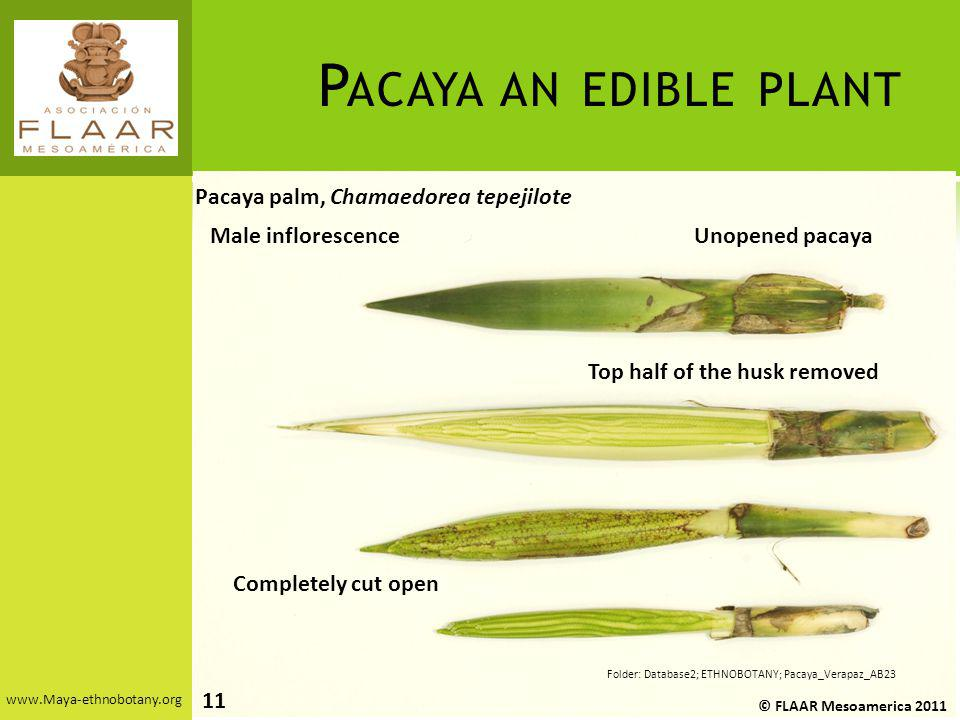 Pacaya an edible plant Pacaya palm, Chamaedorea tepejilote