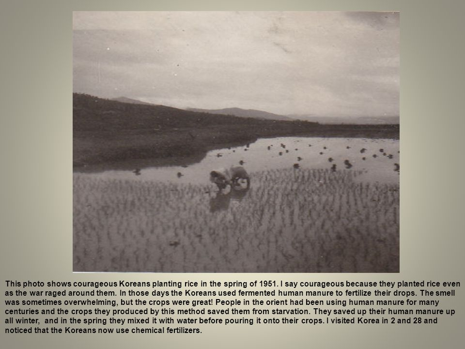 This photo shows courageous Koreans planting rice in the spring of 1951.
