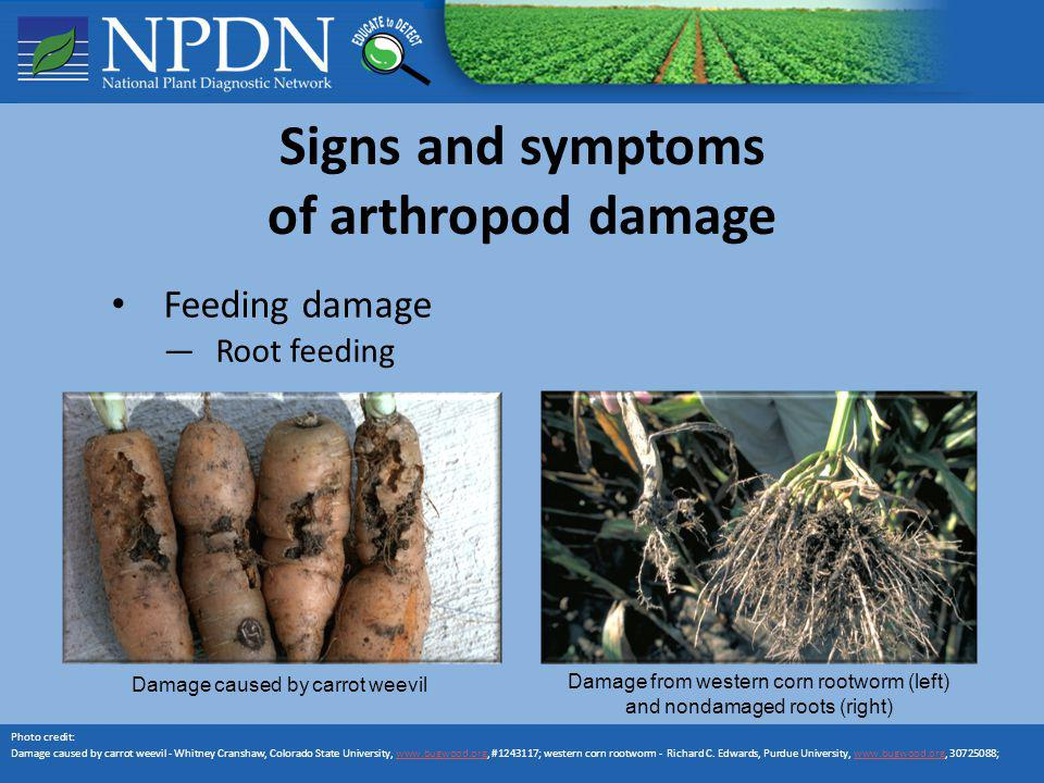 Signs and symptoms of arthropod damage