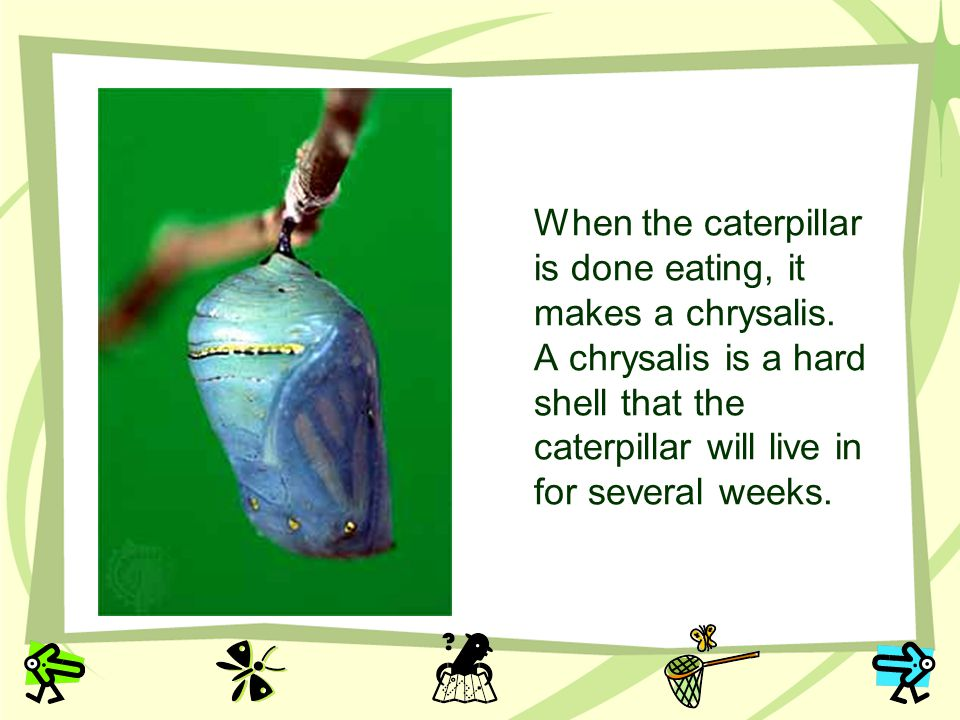 When the caterpillar is done eating, it makes a chrysalis