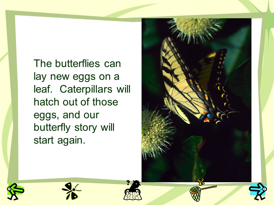 The butterflies can lay new eggs on a leaf
