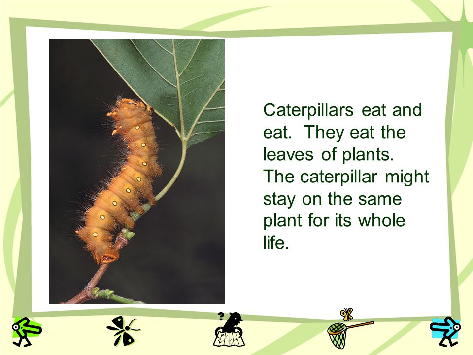Caterpillars eat and eat. They eat the leaves of plants