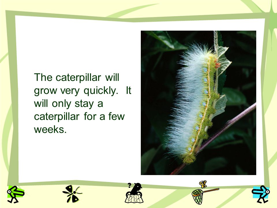The caterpillar will grow very quickly
