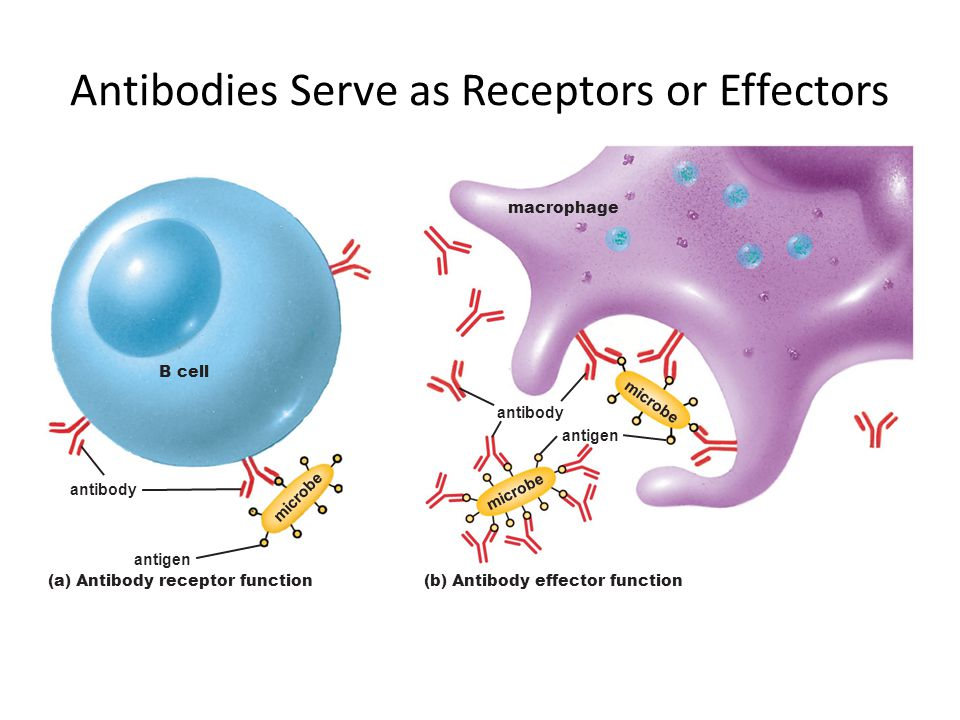 Antibodies Serve as Receptors or Effectors