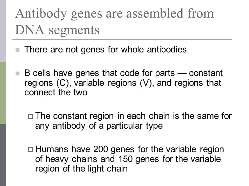 Antibody genes are assembled from DNA segments