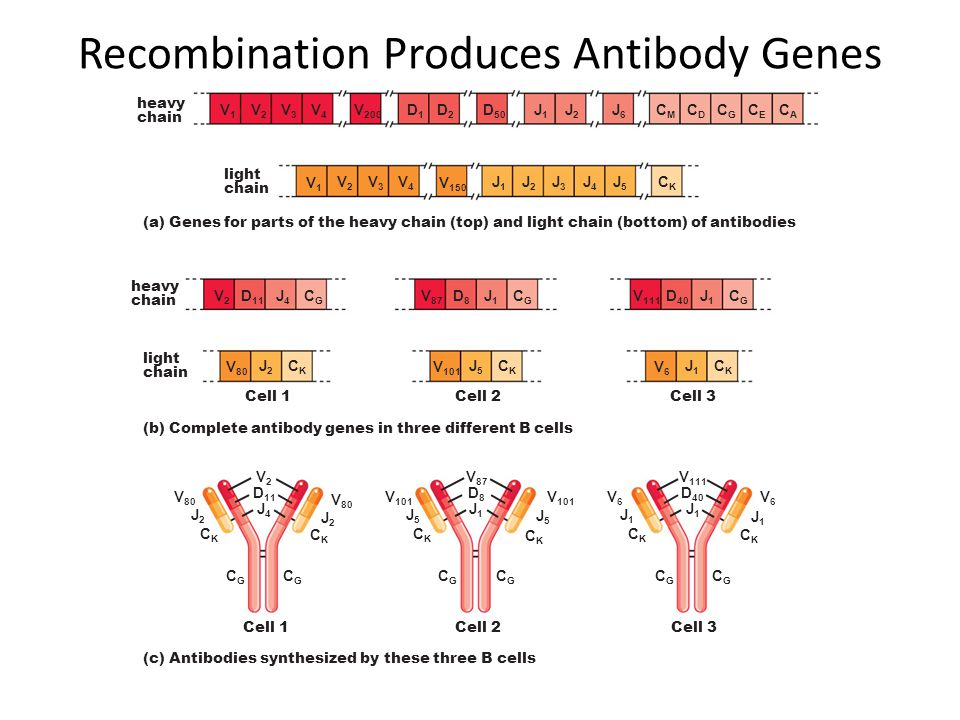 Recombination Produces Antibody Genes