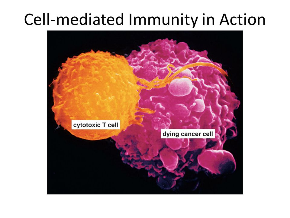 Cell-mediated Immunity in Action