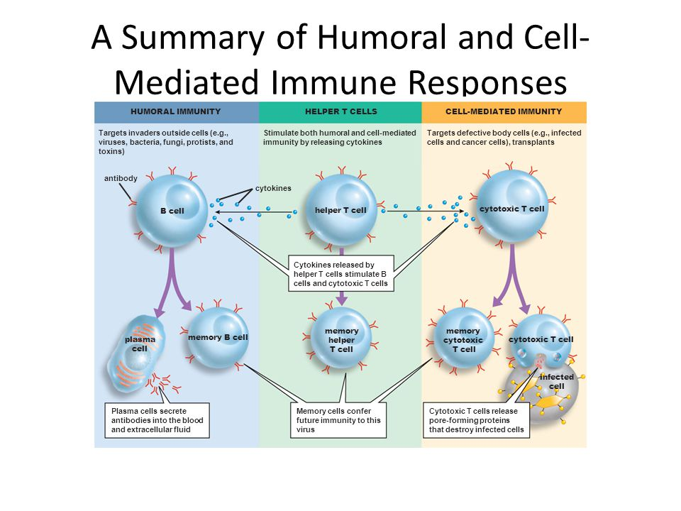 comparing the difference of cell mediated and anti body immune response in mammals What is the main difference between b-cells and t-cells with regard to their method of fighting antigens  (as opposed to the cell-mediated immune response, which is governed by t cells.
