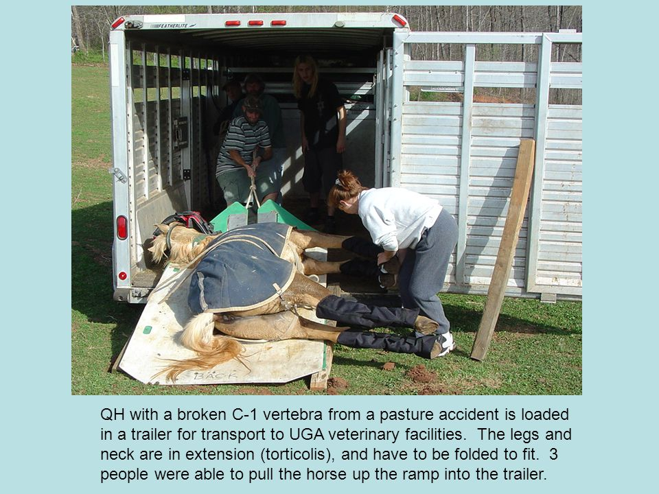 QH with a broken C-1 vertebra from a pasture accident is loaded in a trailer for transport to UGA veterinary facilities.