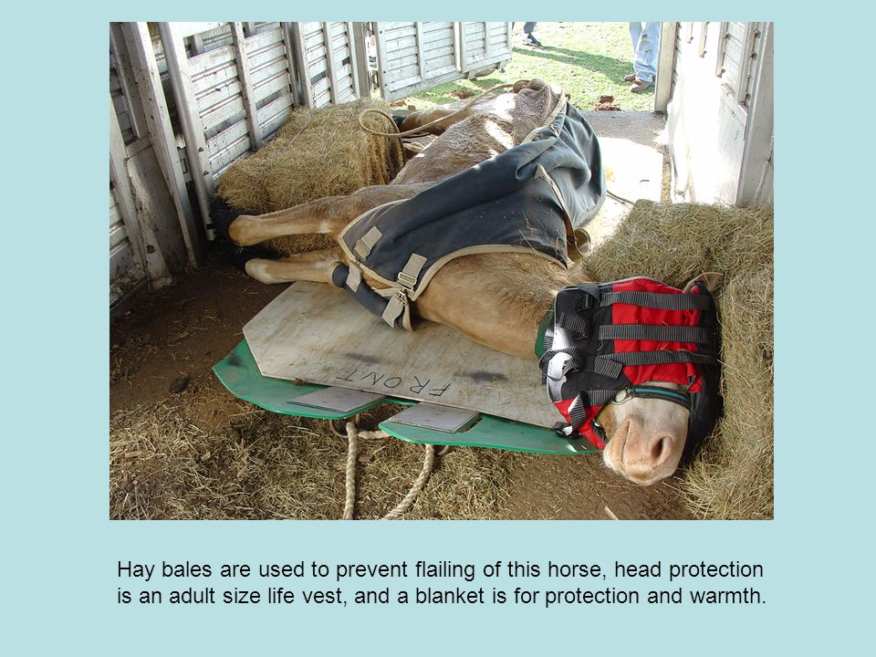 Hay bales are used to prevent flailing of this horse, head protection is an adult size life vest, and a blanket is for protection and warmth.