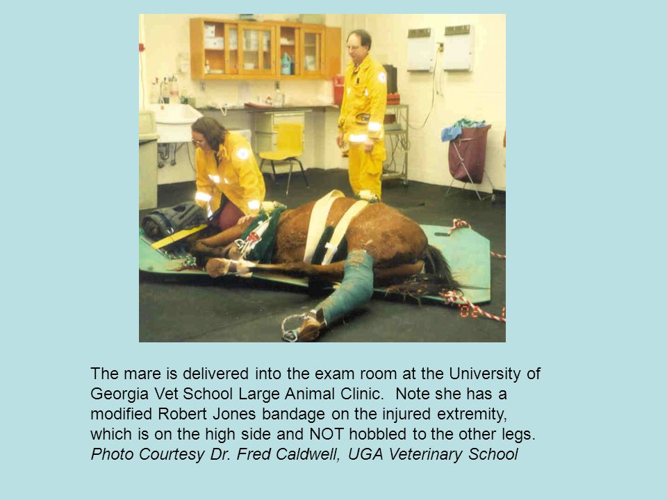 The mare is delivered into the exam room at the University of Georgia Vet School Large Animal Clinic. Note she has a modified Robert Jones bandage on the injured extremity, which is on the high side and NOT hobbled to the other legs.