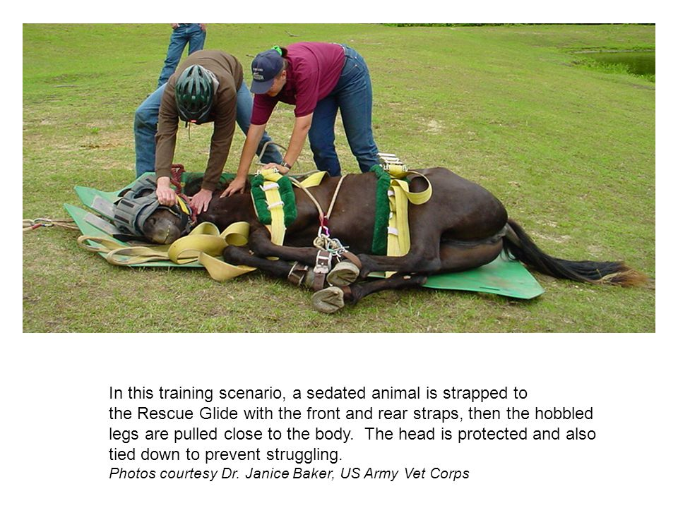 In this training scenario, a sedated animal is strapped to
