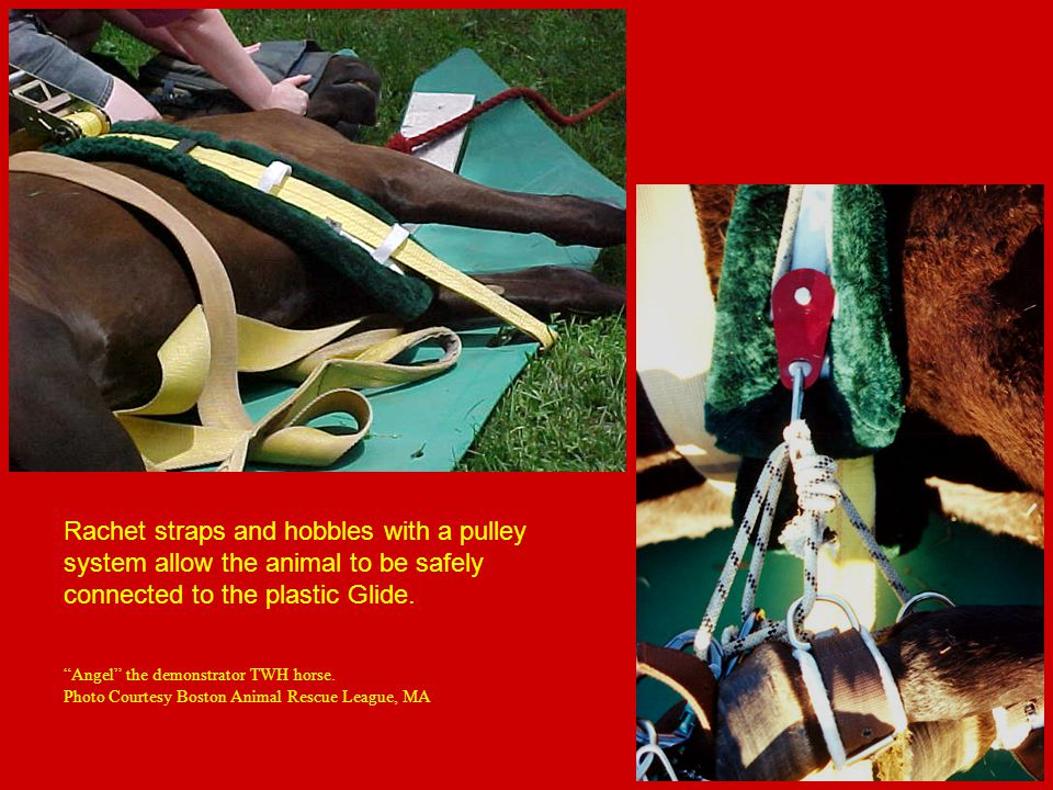 Rachet straps and hobbles with a pulley system allow the animal to be safely connected to the plastic Glide.