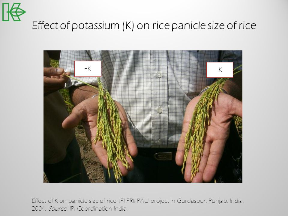 Effect of potassium (K) on rice panicle size of rice