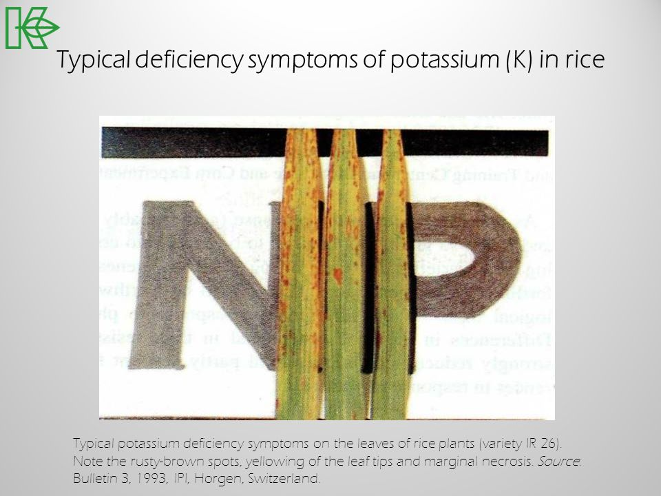Typical deficiency symptoms of potassium (K) in rice