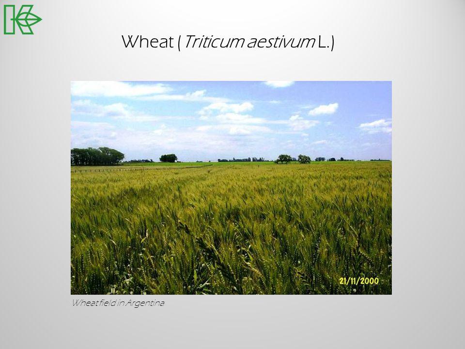 Wheat (Triticum aestivum L.)