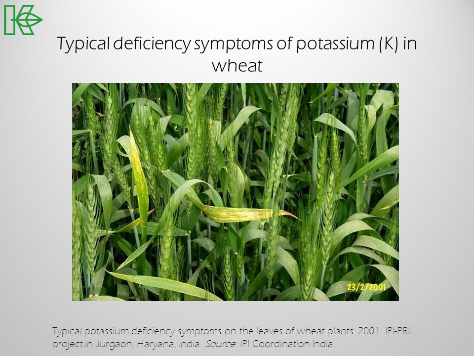 Typical deficiency symptoms of potassium (K) in wheat