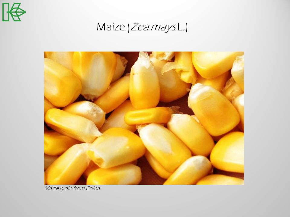 Maize (Zea mays L.) Maize grain from China