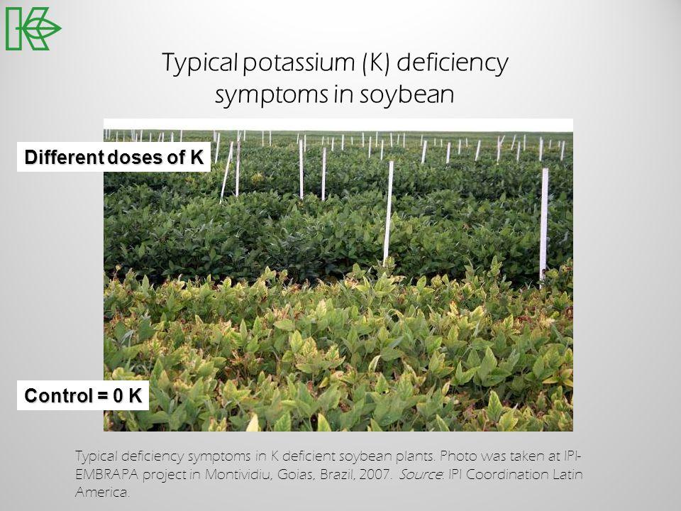 Typical potassium (K) deficiency symptoms in soybean