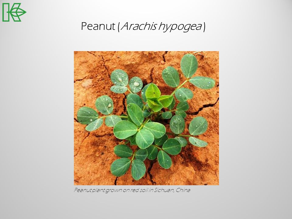 Peanut (Arachis hypogea )