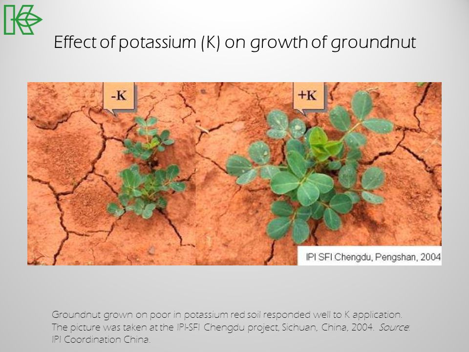 Effect of potassium (K) on growth of groundnut