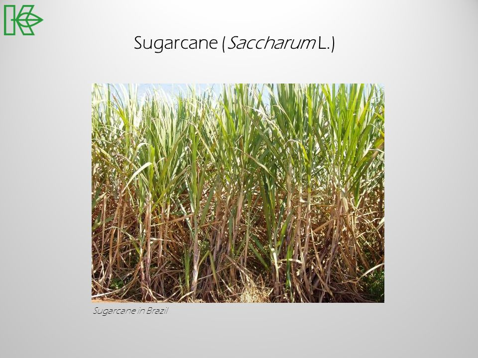 Sugarcane (Saccharum L.)