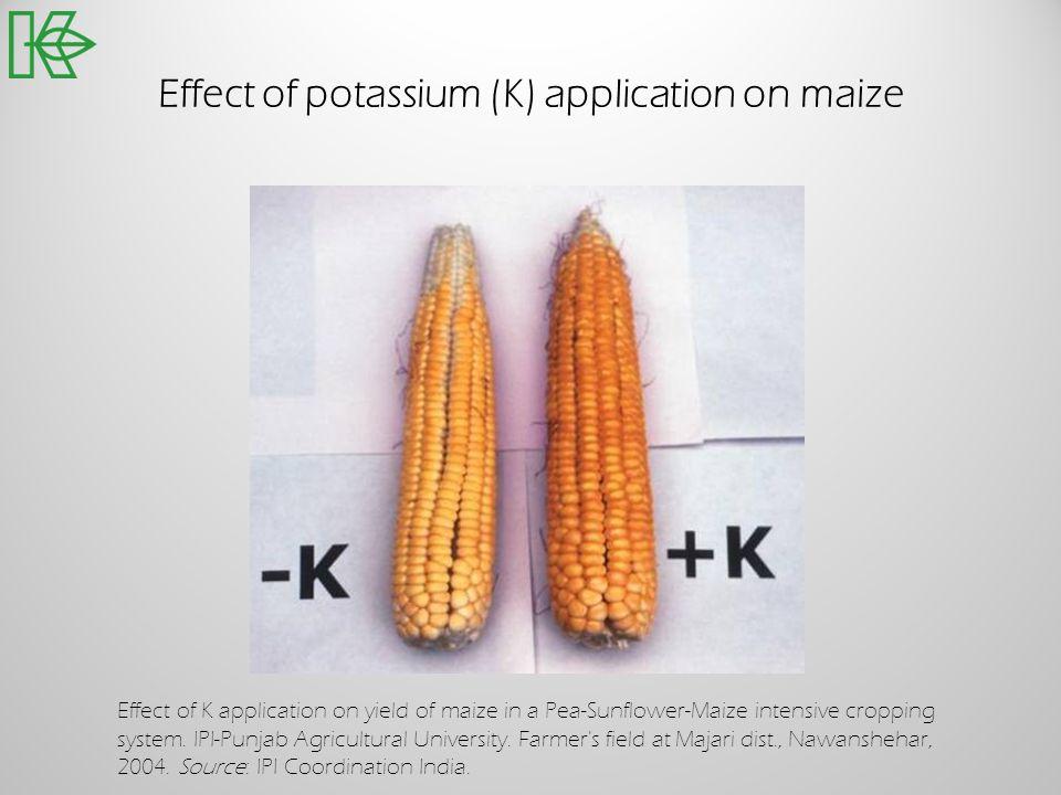 Effect of potassium (K) application on maize