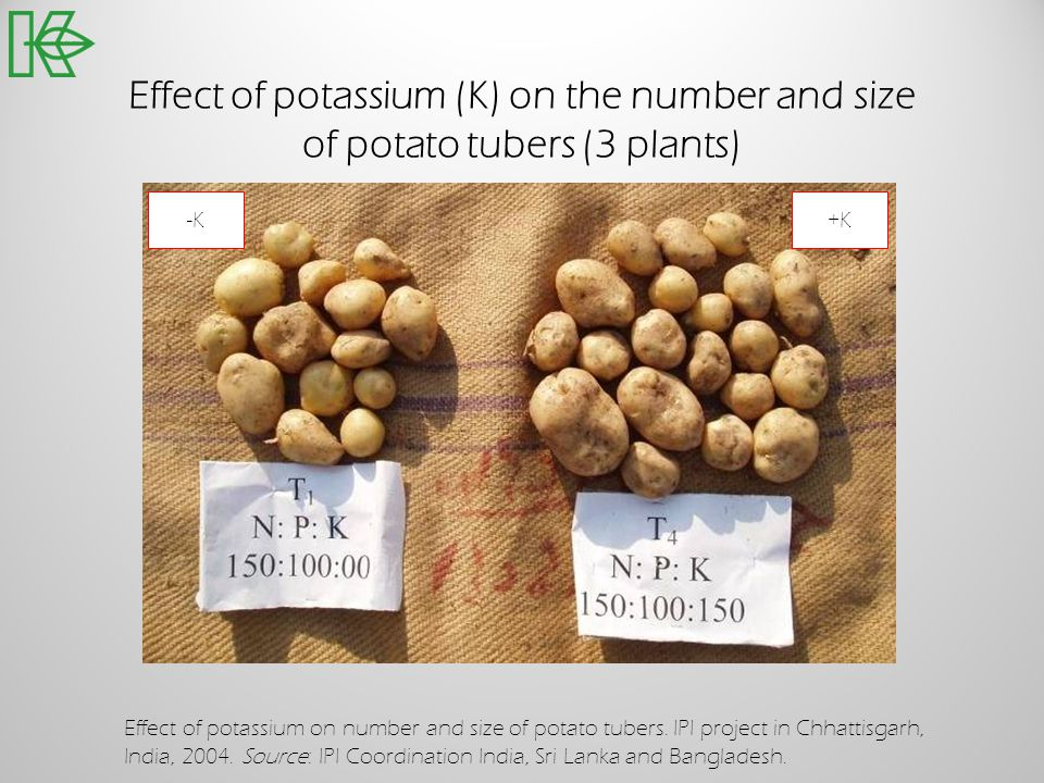 Effect of potassium (K) on the number and size of potato tubers (3 plants)