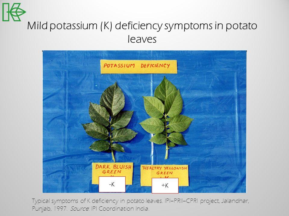 Mild potassium (K) deficiency symptoms in potato leaves