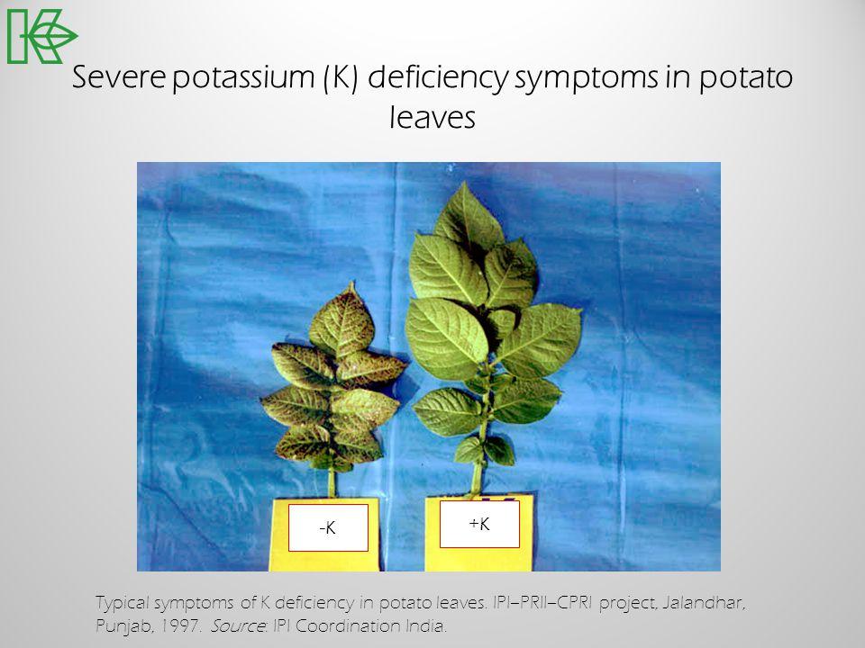 Severe potassium (K) deficiency symptoms in potato leaves