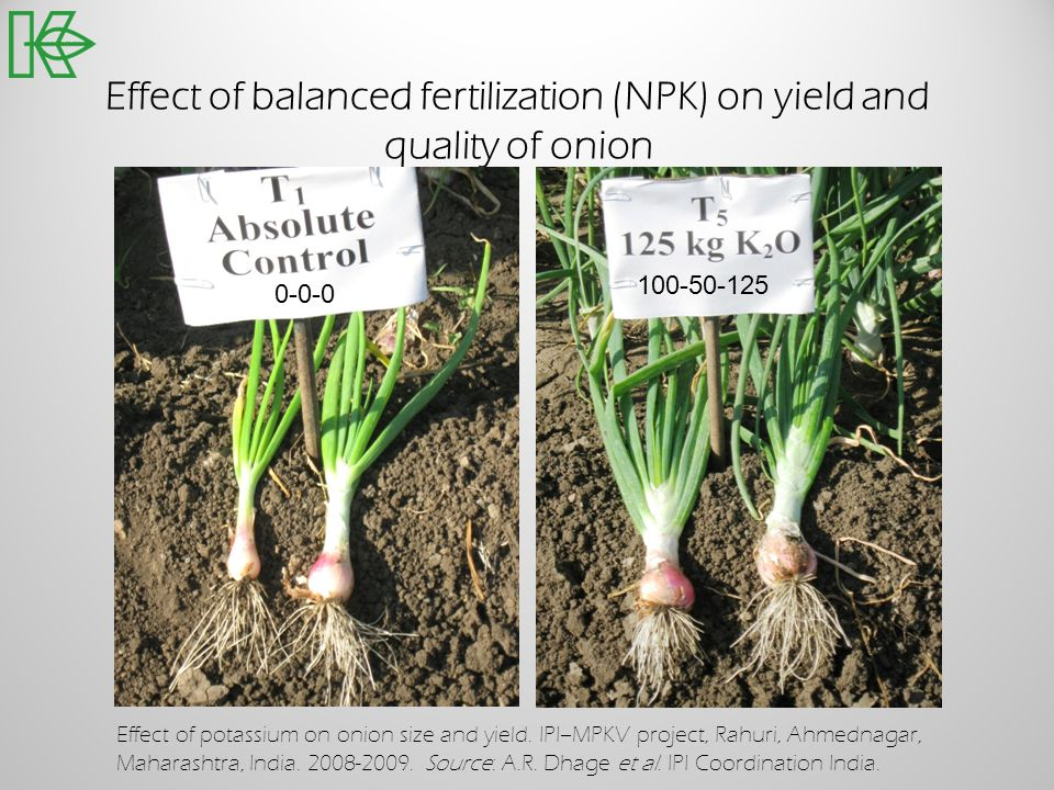 Effect of balanced fertilization (NPK) on yield and quality of onion