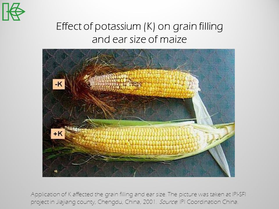 Effect of potassium (K) on grain filling and ear size of maize