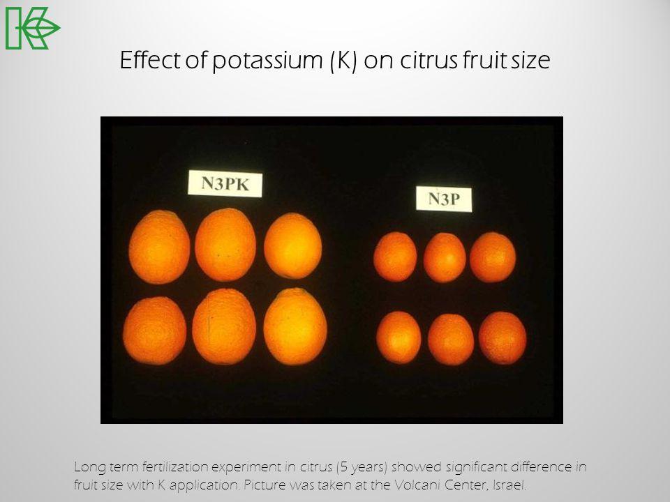 Effect of potassium (K) on citrus fruit size